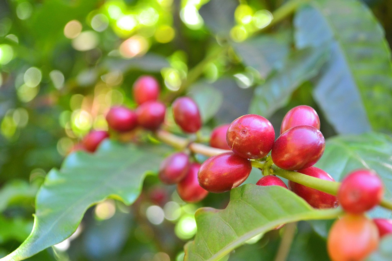 How to Grow Coffee in Your Garden